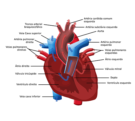 the cardiovascular and muscular systems Animals use their muscular and skeletal systems for support, locomotion,  this system (often treated as two separate systems, the muscular, and skeletal).