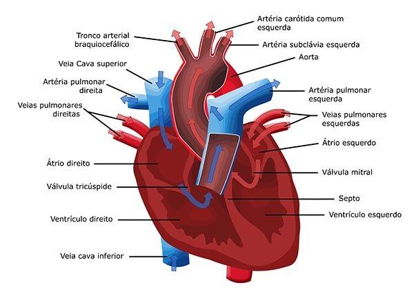 sistema cardiovascular - Roho.4senses.co