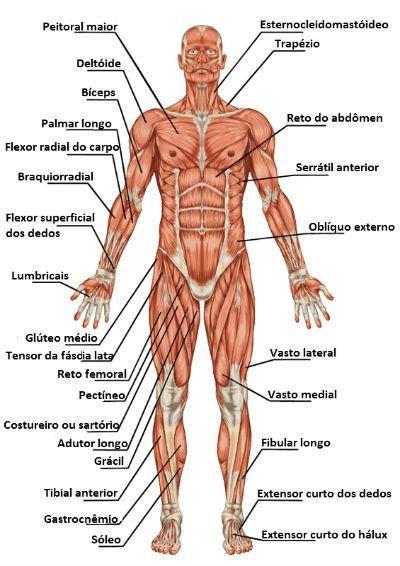 Resultado de imagem para músculos