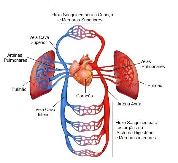 Excelente Sistema Circulatorio Vasos Sanguíneos Ilustración ...
