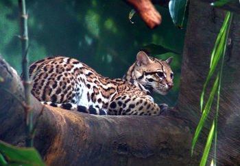 Resultado de imagem para jaguatirica