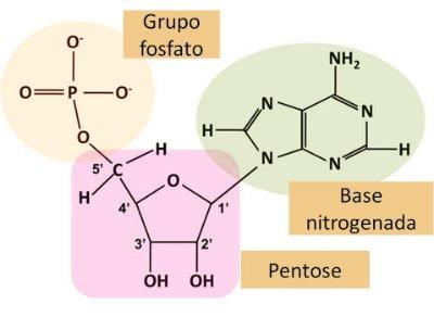 Estrutura do nucleotídeo