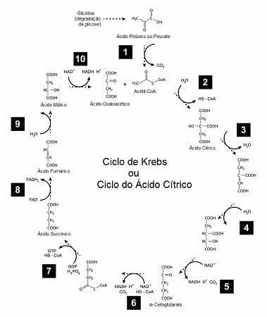 Etapas do Ciclo de Krebs