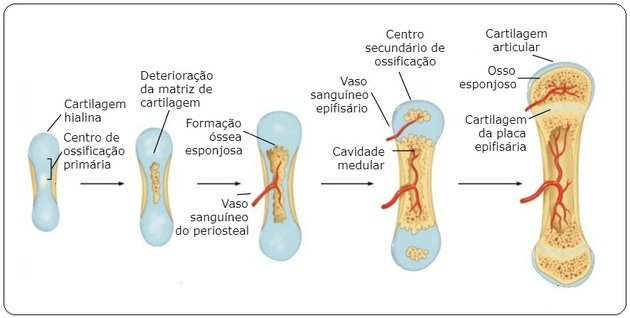 ossification stages