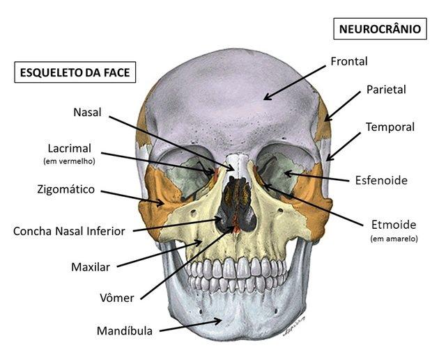 Ossos do crânio - neurocrânio e viscerocranio