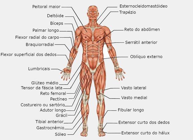Músculos do sistema muscular